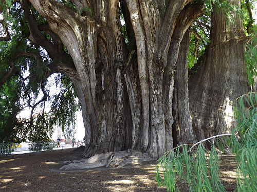 Tule largest tree