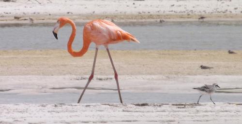 Isla Holbox flamingo
