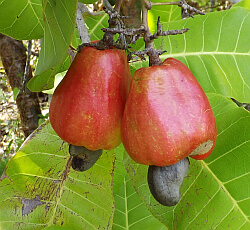 cashew nut on fruit