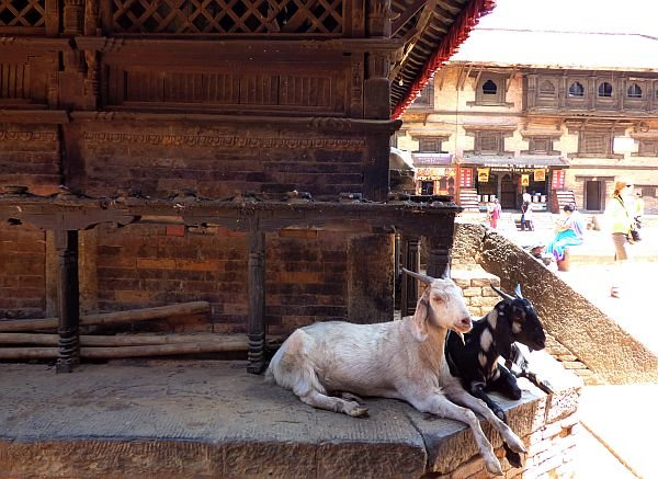 temple and goats in Bhaktapur Nepal