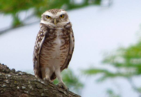 owl photo with superzoom camera