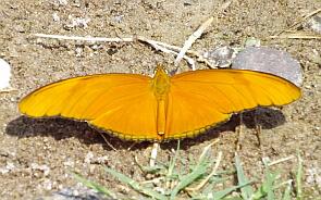 sierra-gorda-butterfly1