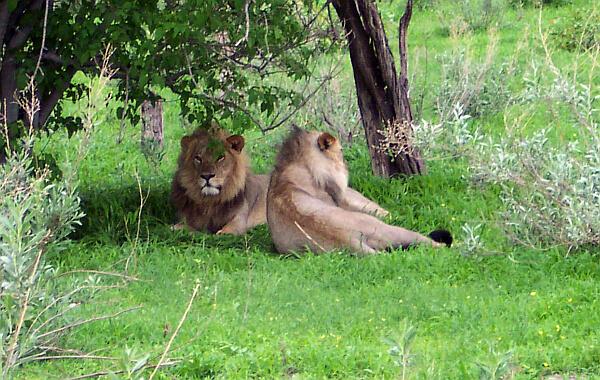 African wildlife safari in Botswana