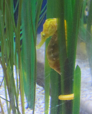 seahorse at Florida Aquarium