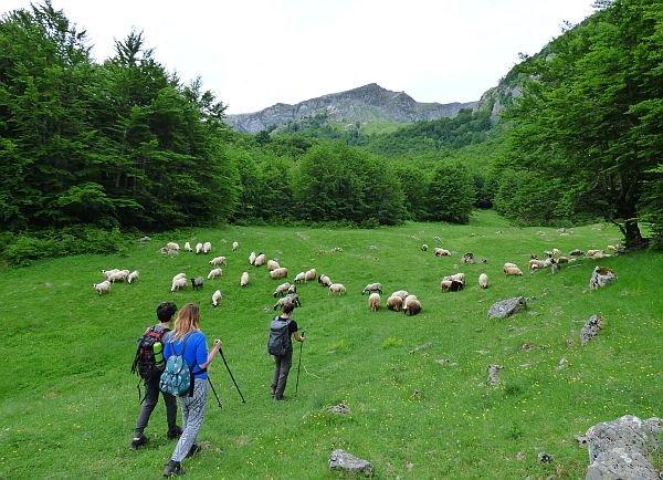 hiking in Bosnia field of sheep