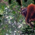 orangutan borneo travel story