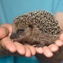 Italy hedgehogs story in Perceptive Travel
