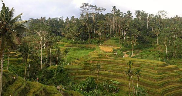Bali rice fields terraced