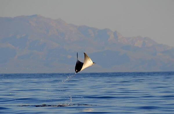 jumping ray near Loreto Mexico on an adventure tour