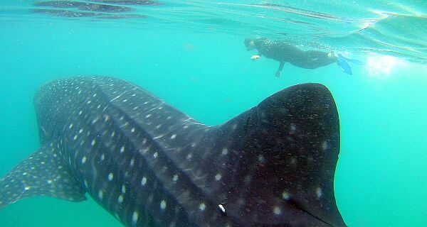 Swim with whale sharks in Baja California