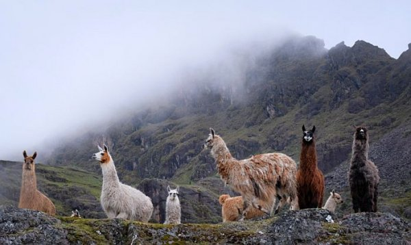 hiking in the Andes Mountains with llamas in Peru