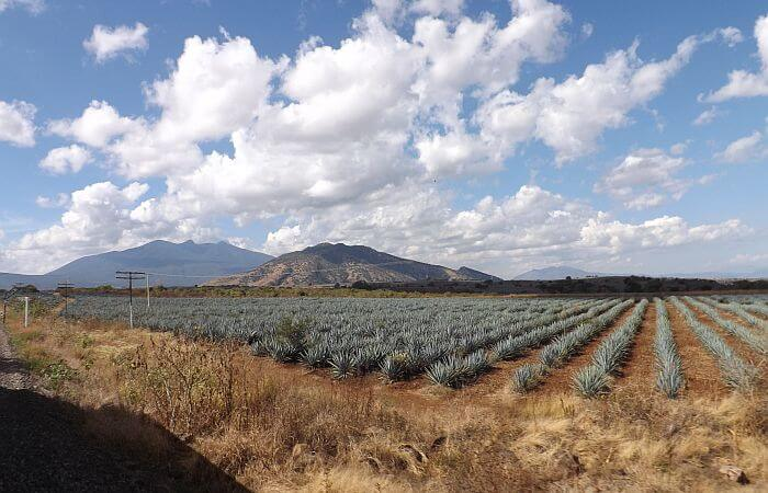 agave fields near Tequila in Mexico